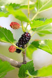 Ripe mulberries in green foliage Royalty Free Stock Photography