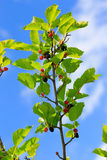 Ripe mulberries  the green foliage Stock Photography