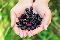Ripe mulberries in the hands Royalty Free Stock Photography