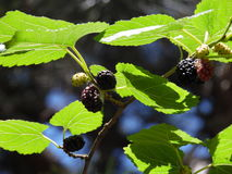 Ripe mulberry. Ripe berries of black mulberry on a tree branch in summer Royalty Free Stock Photography