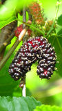Ripe Mulberry Royalty Free Stock Photos