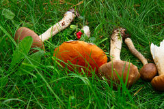 Ripe of mushrooms Stock Image