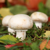 Ripe mushrooms growing in a forest Royalty Free Stock Photos