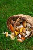 Ripe of mushrooms Stock Photography