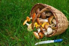 Ripe of mushrooms Royalty Free Stock Photography