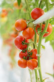 Ripe natural tomatoes growing Stock Images