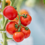 Ripe natural tomatoes growing Royalty Free Stock Photos