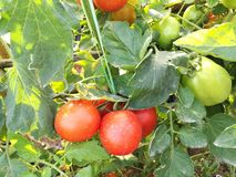 Ripe natural tomatoes growing on a branch Stock Photos