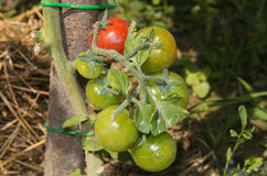 Ripe natural tomatoes growing on a branch Stock Photography
