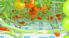 Ripe natural tomatoes growing stock video footage
