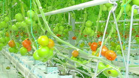 Ripe natural tomatoes growing stock footage