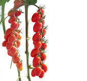 Ripe natural tomatoes growing on a branch. Royalty Free Stock Images