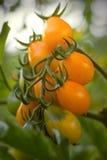 Ripe natural yellow tomatoes Stock Image