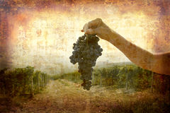 Ripe Nebbiolo grapes Stock Image