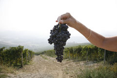 Ripe Nebbiolo grapes Stock Photos