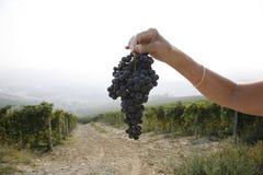 Ripe Nebbiolo grapes Stock Photos