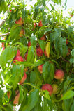 Ripe nectarines on  branch Royalty Free Stock Photography