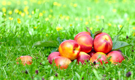 Ripe nectarines Royalty Free Stock Photo