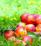 Ripe nectarines Royalty Free Stock Photo