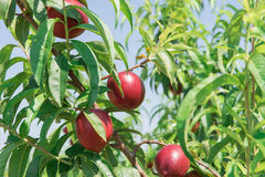 Ripe nectarines on the green branch,  harvest. Nectarines on the green branch, fruit harvest Royalty Free Stock Image