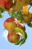 Ripe Nectarines on the Tree Stock Images
