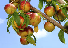 Ripe Nectarines on the Tree Royalty Free Stock Photo