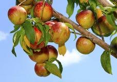 Ripe Nectarines on the Tree. Beautiful Ripe Nectarines on the Tree Against a Blue Sky Royalty Free Stock Photo