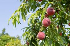 Ripe Nectarines in tree Stock Photography