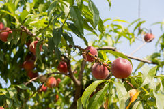 Ripe Nectarines in tree Royalty Free Stock Photography