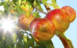 Ripe Nectarines on the Tree Stock Image