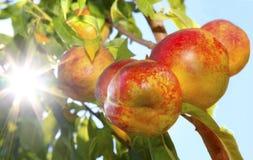 Ripe Nectarines on the Tree Stock Image