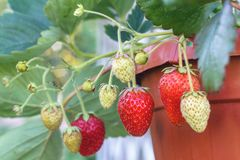 Ripe and not yet ripe strawberry in pot closeup royalty free stock photography