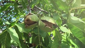Ripe Nut Tree Branches stock video footage