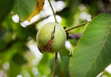 Ripe Nut On A Walnut Tree. Ripe Nut In Green Hull On A Walnut Tree, Autumn Harvest Stock Photos