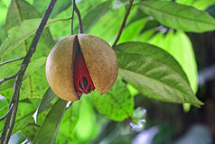 Ripe Nutmeg in Tree. Fully ripe and split nutmeg seed hanging in tree in Kerala, India. Nutmeg is a tropical spice that delivers two distinct flavors. Genus is Royalty Free Stock Photos