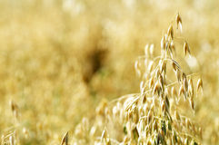 Ripe Oat Stock Images