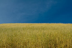 Ripe oat crops under blue sky Royalty Free Stock Image