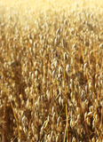 Ripe oat growing on field Stock Images