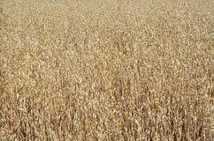 Ripe oats field Royalty Free Stock Photos