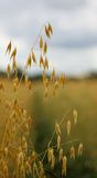 Ripe oats in a field Royalty Free Stock Image