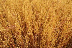 Ripe  oats in a field Stock Image