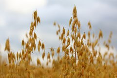 Ripe  oats in a field Royalty Free Stock Photos