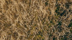 Ripe oats on the field. From a bird`s eye view stock footage
