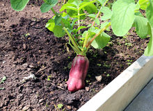 Ripe oblong red radish Stock Photography