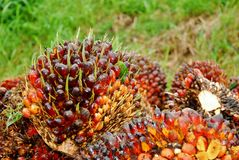 Ripe oil palm fruit cut. Ripe oil palm fruit ready to be processed Royalty Free Stock Photo