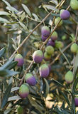 Ripe Olives Royalty Free Stock Images