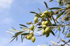 Ripe olives on branch of tree. Ripened green olives on branch of tree with blue sky and cloudscape background Stock Photos