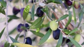 Ripe olives close up stock footage