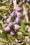 Almost ripe olives Royalty Free Stock Images