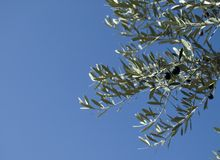 Ripe olives on a olive tree Royalty Free Stock Photos